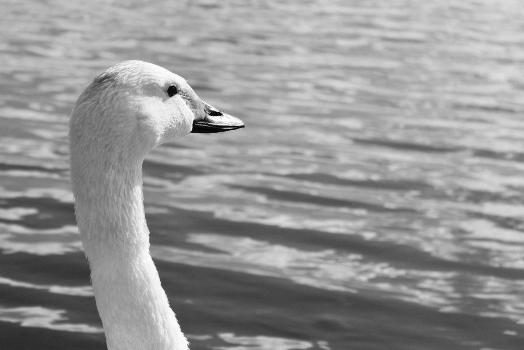 Swan MAIN