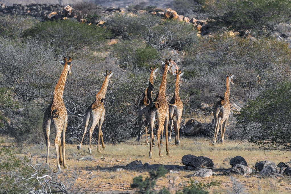 giraffe 3577833 1280